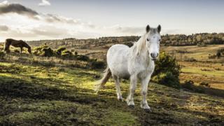 Лошади в Новом лесу