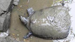 Cá thể rùa Hoàn Kiếm qua đời ở Trung Quốc