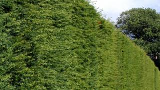 A generic photo of a hedge