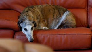 Caracol, a 10-year-old Spanish Galgo