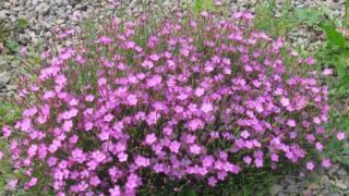 Maiden Pink flower
