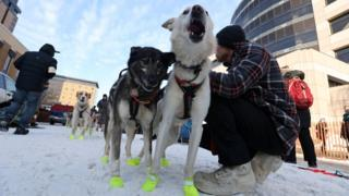 Musher strokes his dogs in preparation for the big race