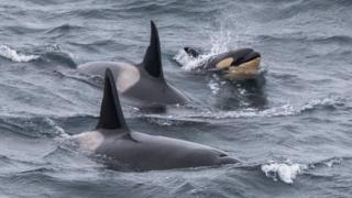 Adult orcas and calf