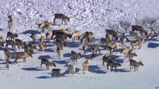 A herd of reindeer in the snow in Norway