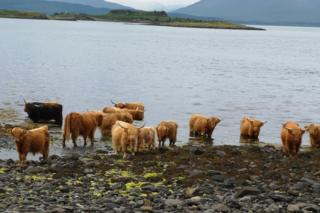 Highland cows cooling off on the Island of Kerrera.