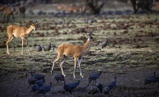 Paa akinywa maji kutoka bwawa katika hifadhi ya taifa Dinder, katika eneo la Sennar nchini Sudan./ Picha ya AFP 14 Aprili