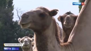 Roaming camels, Russia