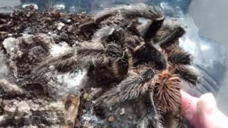 The dead tarantula