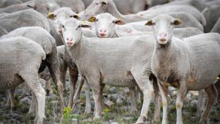 A photograph of freshly-shorn sheep in southeastern France