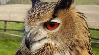 European Eagle Owl Bella