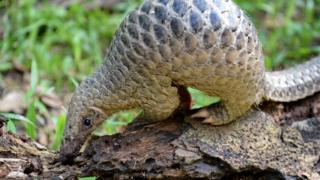 A baby Sunda pangolin nicknamed 'Sandshrew' feeds on termites in the woods at Singapore Zoo