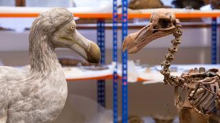 Dodo model and skeleton