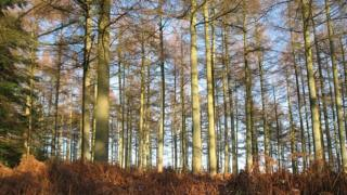 Picture of larch tree forest
