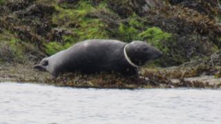 Seal with object stuck around its neck