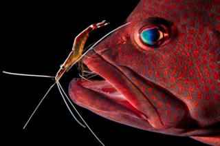 The grouper has dead skin, bacteria, and parasites cleaned by a shrimp