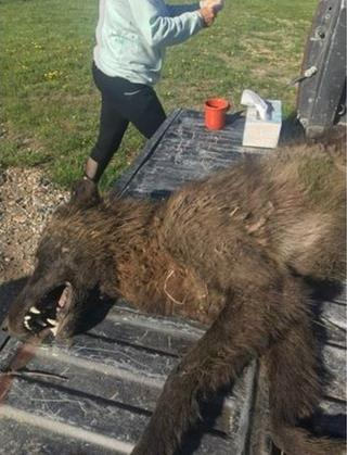 39 wolf like 39 creature shot on montana ranch puzzles experts for Mt fish wildlife and parks