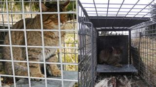 Wildcat in fox cage