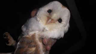 Barn owl illegally kept by Lee Wellings