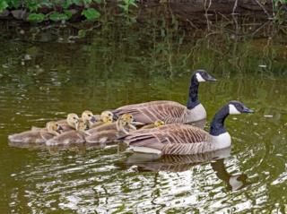 Canadian geese and their offspring