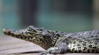 Fidel Castro's crocodile bites man at Swedish aquarium