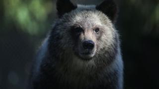 Grizzly bear cub named Juneau stands during her first day out in the public at the Palm Beach Zoo on December 17, 2015 in West Palm Beach, Florida.