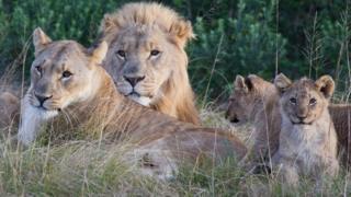 Família de leões da reserva de Sibuya