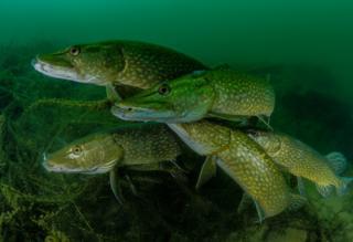 Grupo de lucios debajo del agua