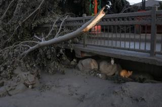 Cats hide under a road after a volcano eruption in Talisay, Batangas, Philippines, 13 January