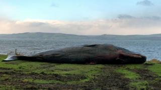 Sperm whale at Ardersier
