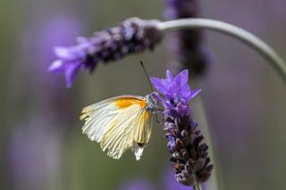 A yellow butterfly contrasts with the purple lavender flower it has landed on.