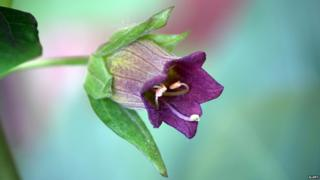 Belladonna, or deadly nightshade