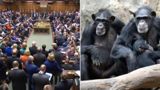 House of Commons and chimpanzees