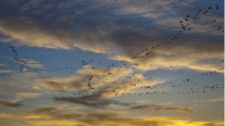 Snow geese on migration