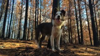 Cadela da raça border collie em bosque no Chile