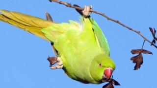Burung parkit leher cincin