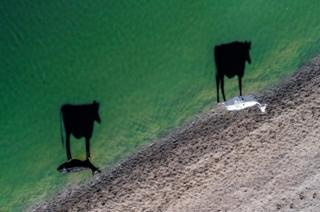 Two cows take their morning drinks as their shadows are cast across the water.