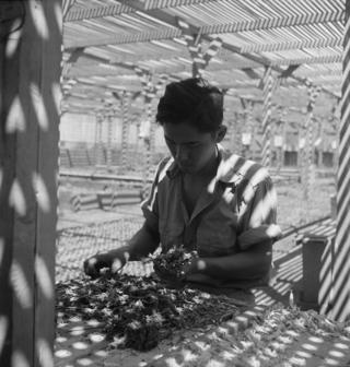 An evacuee is shown in the lath house sorting seedlings for transplanting