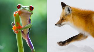 A glass frog and fox from Planet Earth II