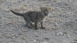 Маленький леопард приседает с вытянутым хвостом