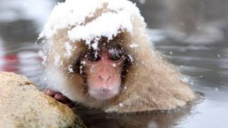 A Japanese macaques bathing in a hot spring with snow on its head.