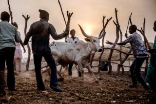 Cattle herders direct cows to the yards at a livestock market in Ngurore, Adamawa State, Nigeria. They are encircling the animal, the sun is low in the sky - Wednesday 20 February 2019