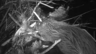 Eurasian beaver in the forest of dean