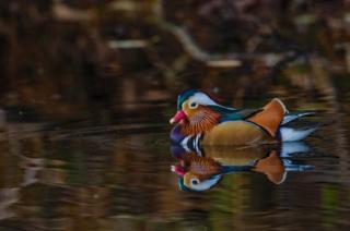 Mandarin Drake on a river in Aberdeen