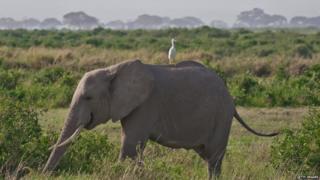 Elephant with egret