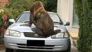 The seal jumped on a car, causing minor damage