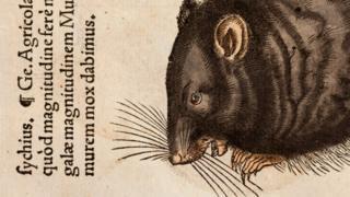 Rato em desenho feito no século 16