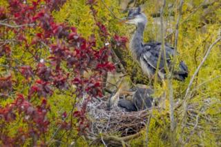 Grey Heron with chicks in a nest