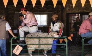 A ranar Talata ne,manoma suka shirya tsaf don fara sayar da dabbobinsu a wata babbar kasuwar baje-kolin kayan gona a Afirka ta kuduA handler holds a Merino sheep at a stand at the Nampo Harvest Day 2017 agricultural fair on May 16, 2017 in Bothaville Nampo is the largest agricultural fair on the African continent holding its 51st edition with over 700 exhibitors and over 70,000 visitors expected.