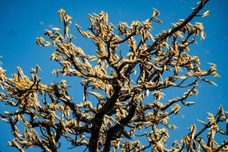 Swarms of locusts feed on shea trees