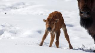 Bison calf takes first steps